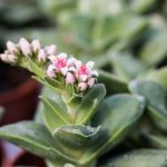 Crassula spring time