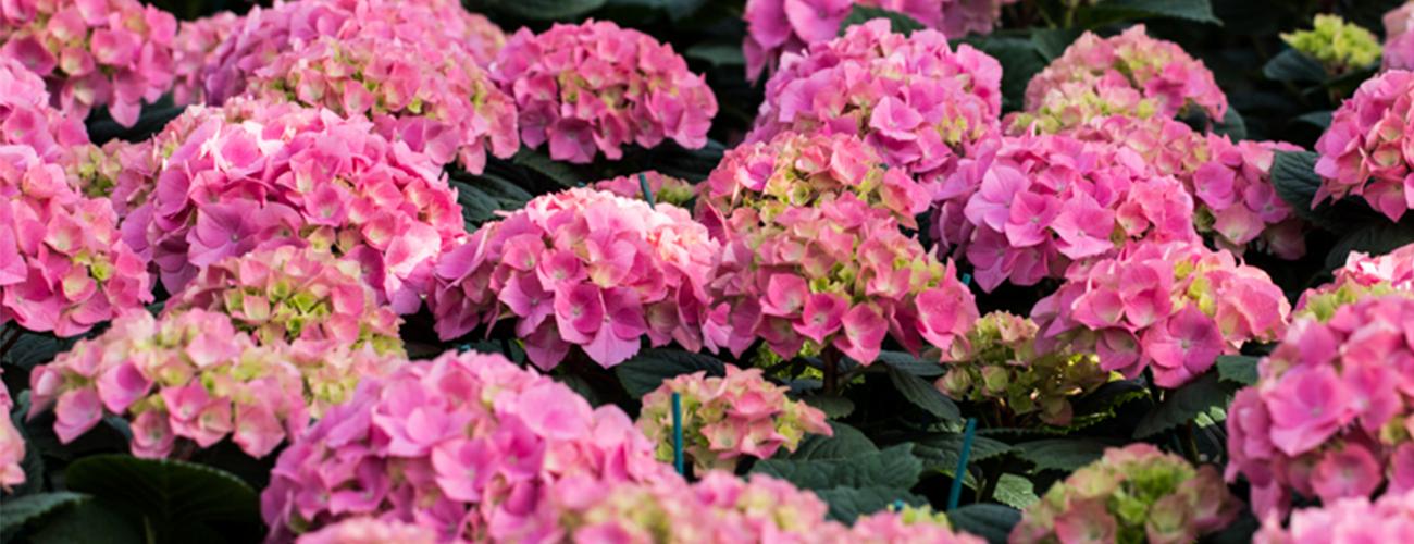 Garden center e fioreria produzione e vendita al dettaglio for Ortensie in vaso